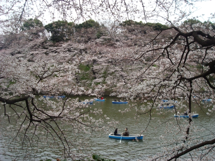 people boating under cherry blossoms