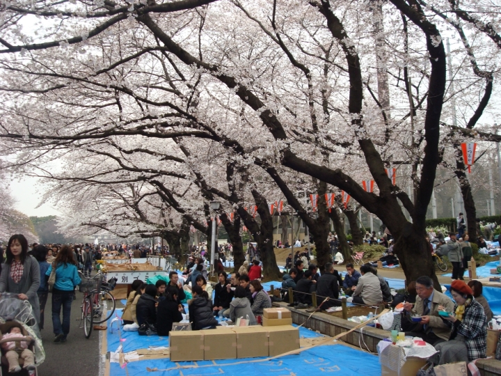 sakura cherry blossom parties under the trees