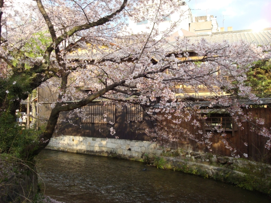cherry-blossoms-in-kyoto-japan