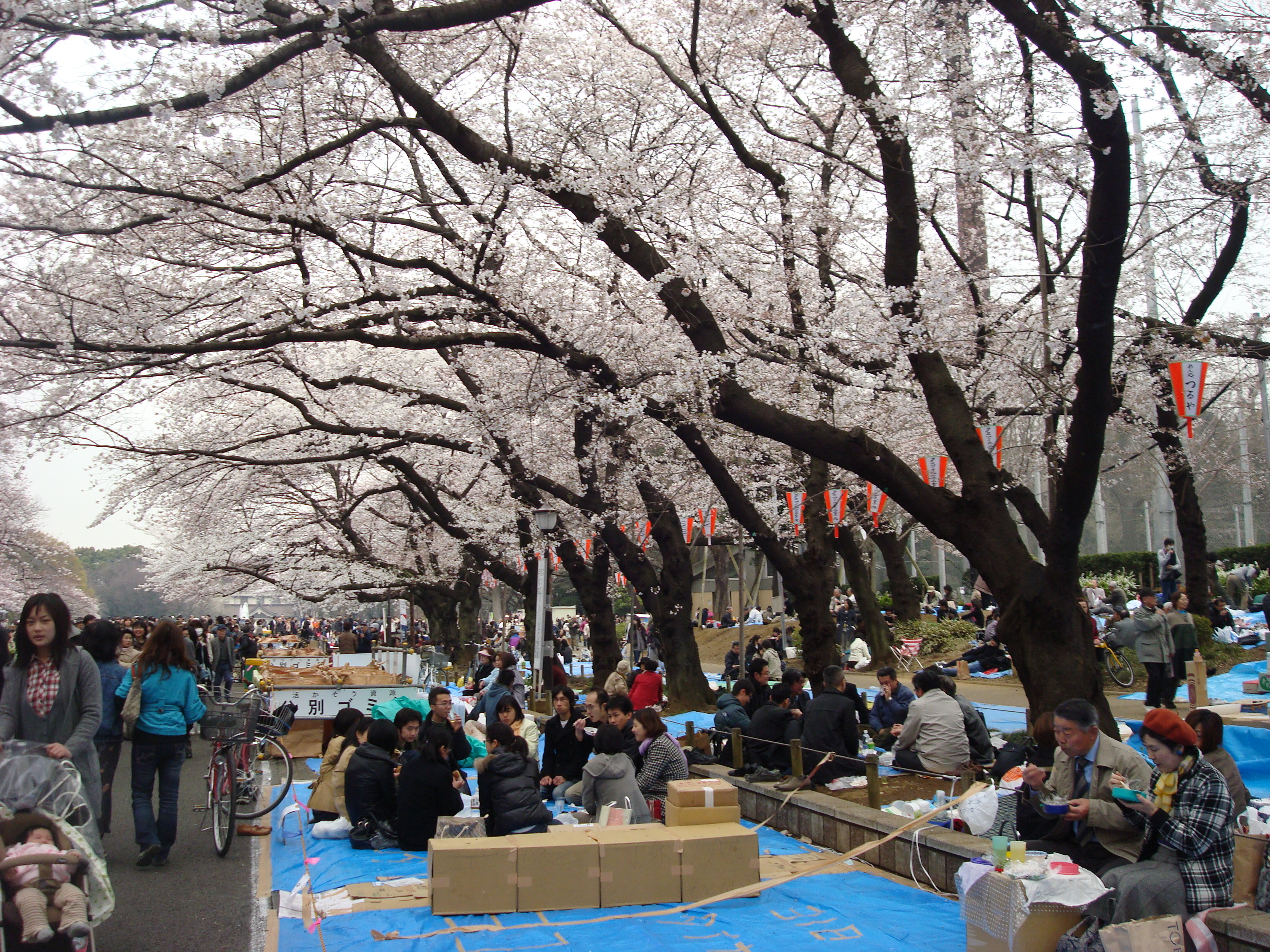 cherry blossom parties in ueno park tokyo japan
