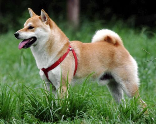 Shiba inu japanese dog breed is a medium sized dog often tan in colour